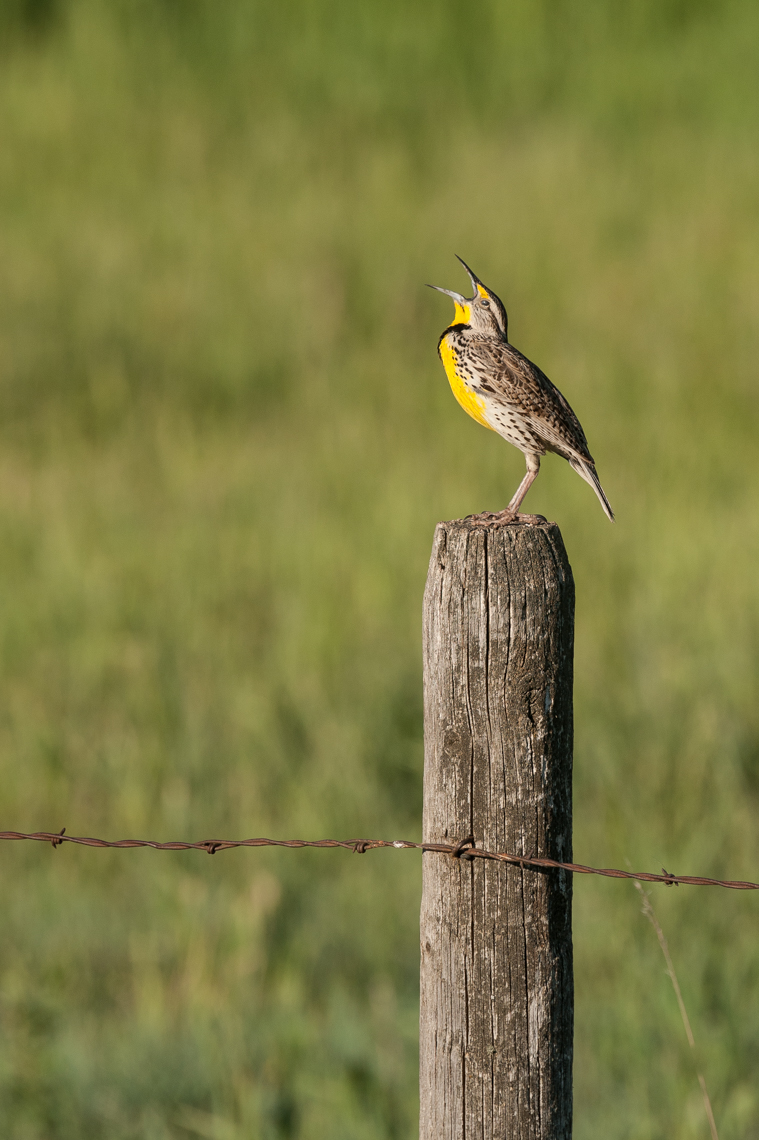Montana Wildlife Bird Editorial Photograph 03